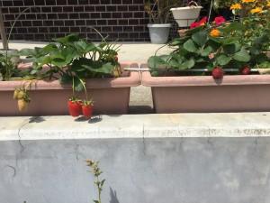 プランター栽培のイチゴ